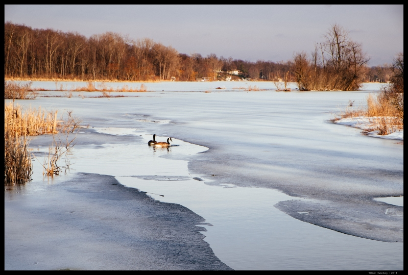 Geese, Water, Ice