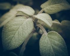 Spring Sage