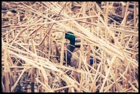 Duck Hiding