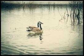 Geese on Reed's Lake