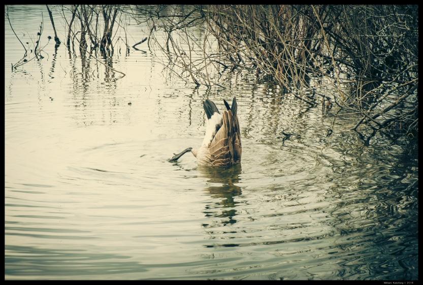 Goose on Reed's Lake Diving