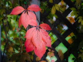 red leaves GFX-1