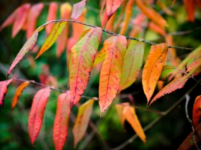 red leaves GFX-2