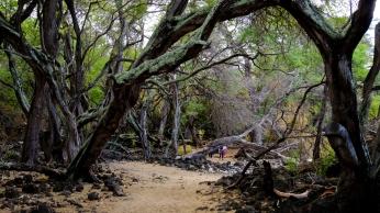 Trees in lava field
